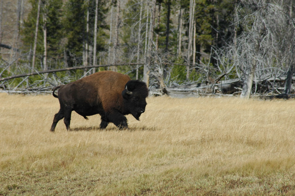 Yellowstone Park Wildlife